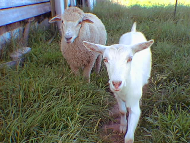 Goat And A Lamb